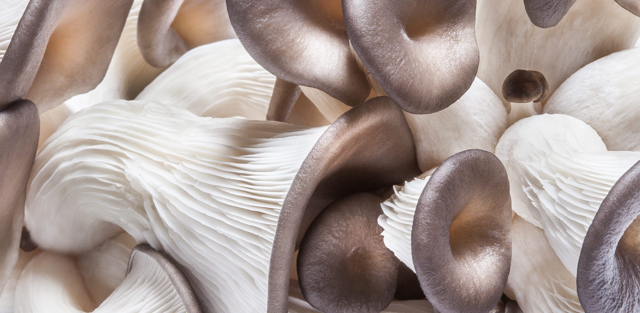 Edible raw Pearl Oyster Mushrooms